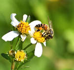 Busy little bee....