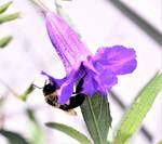 A bizy little bee.....