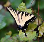 Tiger Swallowtail butterfly (1)