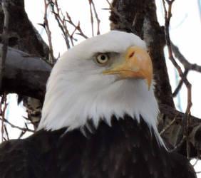 Jackson Hole Snake River Eagle