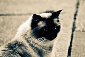 My cat Ziggy Stardust by Paganpoetry17