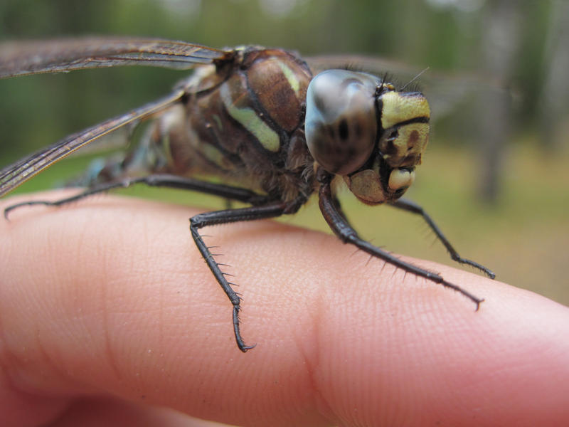 Dragonfly on my finger
