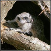 Cute Meerkat 2 by Vitaloverdose