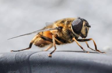 Hoverfly by Vitaloverdose