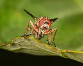 Macro fly by Vitaloverdose