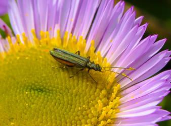Green shiny beetle by Vitaloverdose