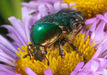 Much love for the Green Rose Chafer 4 by Vitaloverdose