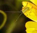 baby speckled bush cricket 2 by Vitaloverdose