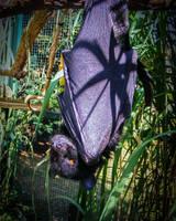 Giant fruit bat by Vitaloverdose