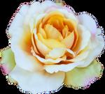 Rose #3