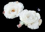 Cream rose stock #1