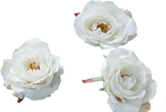 Cream rose stock #2