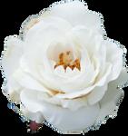Cream Rose 3