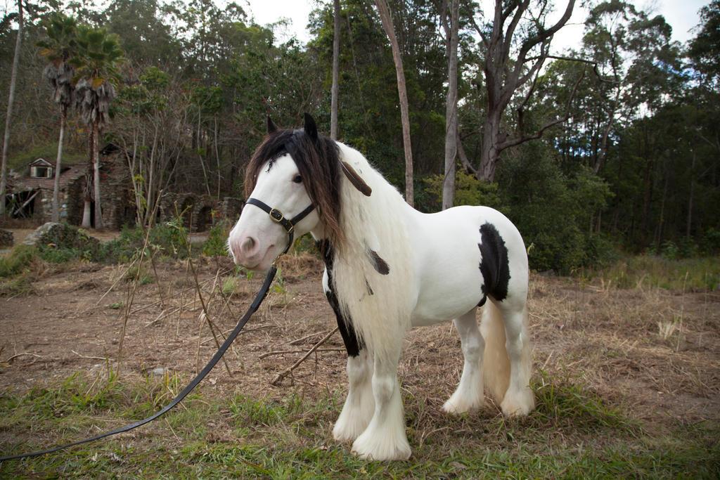 Gypsy horse stock #1