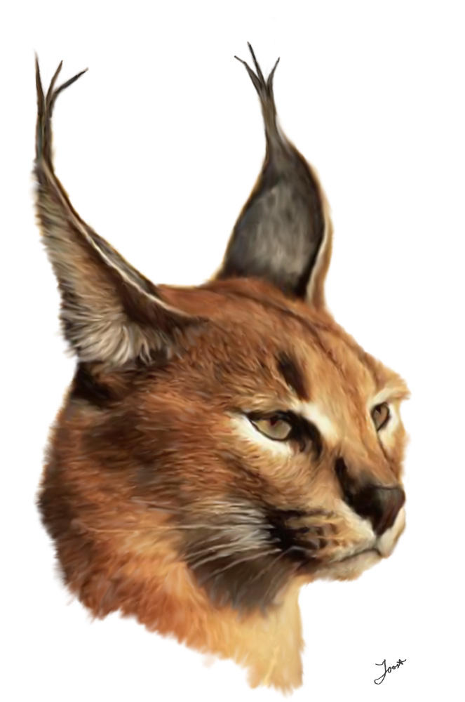 Caracal drawing - photo#10