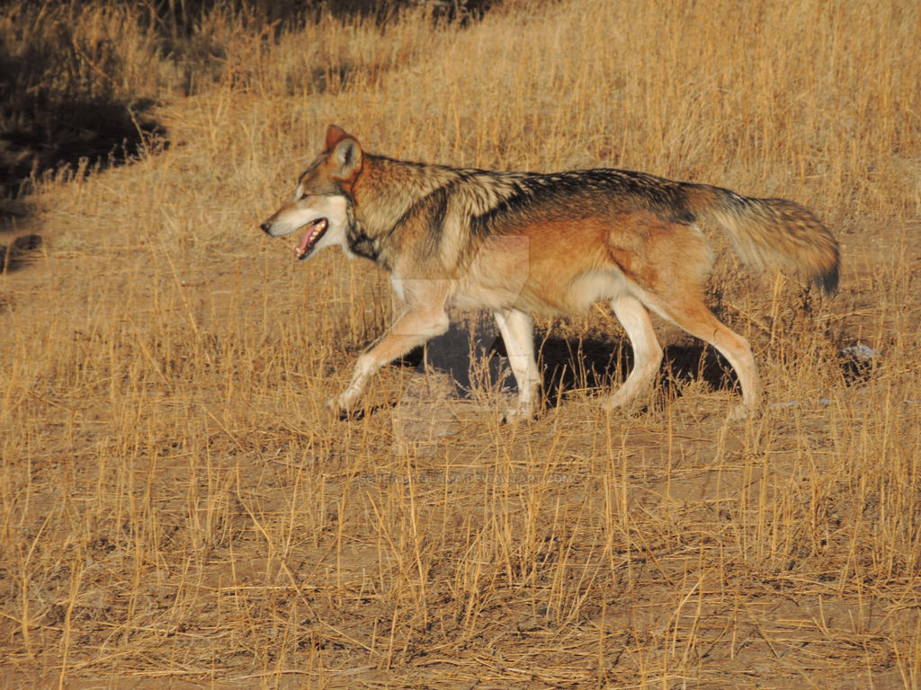 Mexican Wolf Run by ScreamingLama