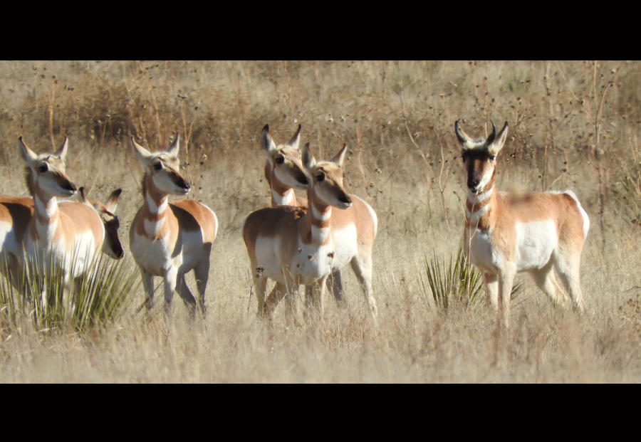 Pronghorns: Stick by ScreamingLama