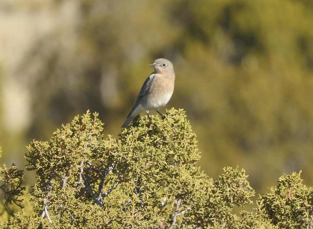 Mountain Blue Bird Female by ScreamingLama