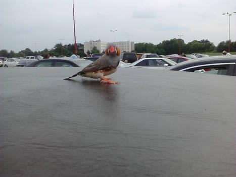 Random pet bird who got free