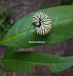 Monarch Caterpillar #2