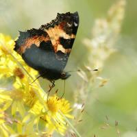 flutters by Wysseri