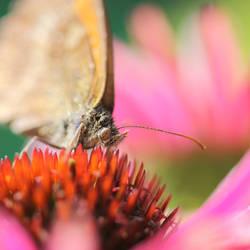 Echinacea by Wysseri