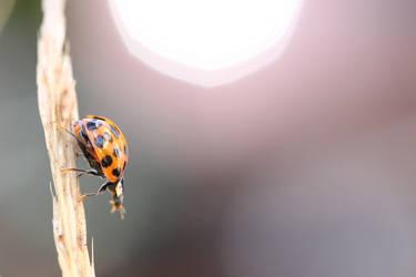 Late Ladybird by Wysseri