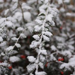 Snowy Cotoneaster by Wysseri