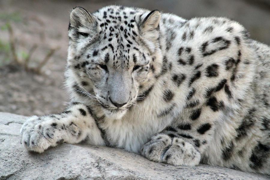 Snow Leopard Cub 2 By ChaosToGlory