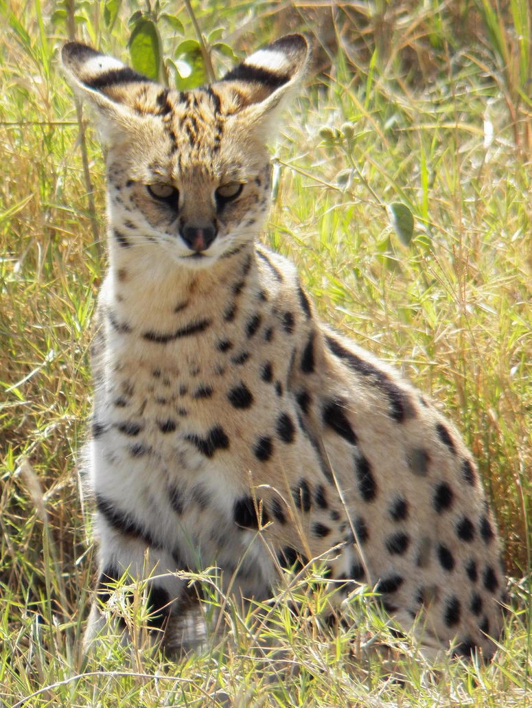 Serval Cat by SplashKittyPhotos