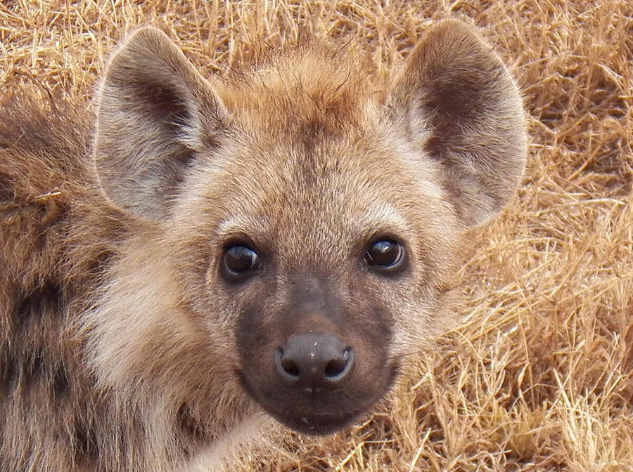 BABEH HYENA by SplashKittyPhotos
