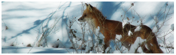 [FREE TO USE] Snowy Red Fox - Rectangular 1 by randomkiwibirds