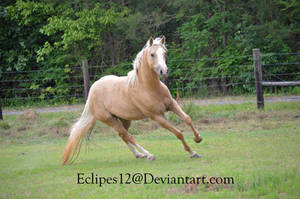 Palomino horse cutting by eclipes12
