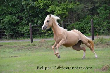 Palomino horse leaping