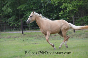 Palomino horse running 2 by eclipes12