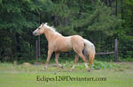 Palomino horse trotting