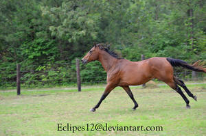 Bay horse running 2 by eclipes12