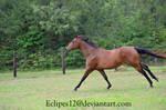 Bay horse running 2