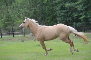 Palomino horse running 4 by eclipes12