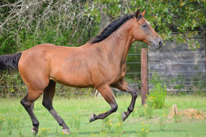 Bay gelding running by eclipes12