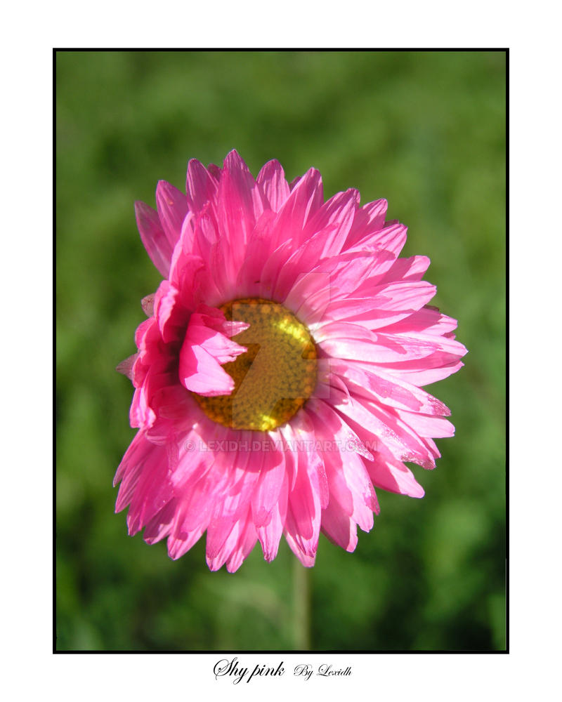Shy pink by lexidh