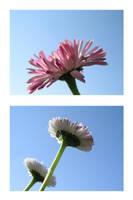 Sunseeking daisies by lexidh