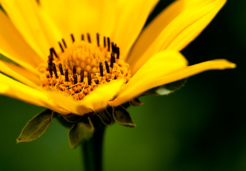 yellow flower by Aspyrin