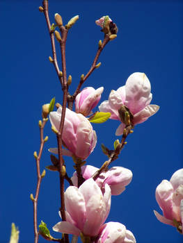Magnolia 003