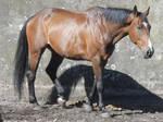 Walking Horse - Touraine