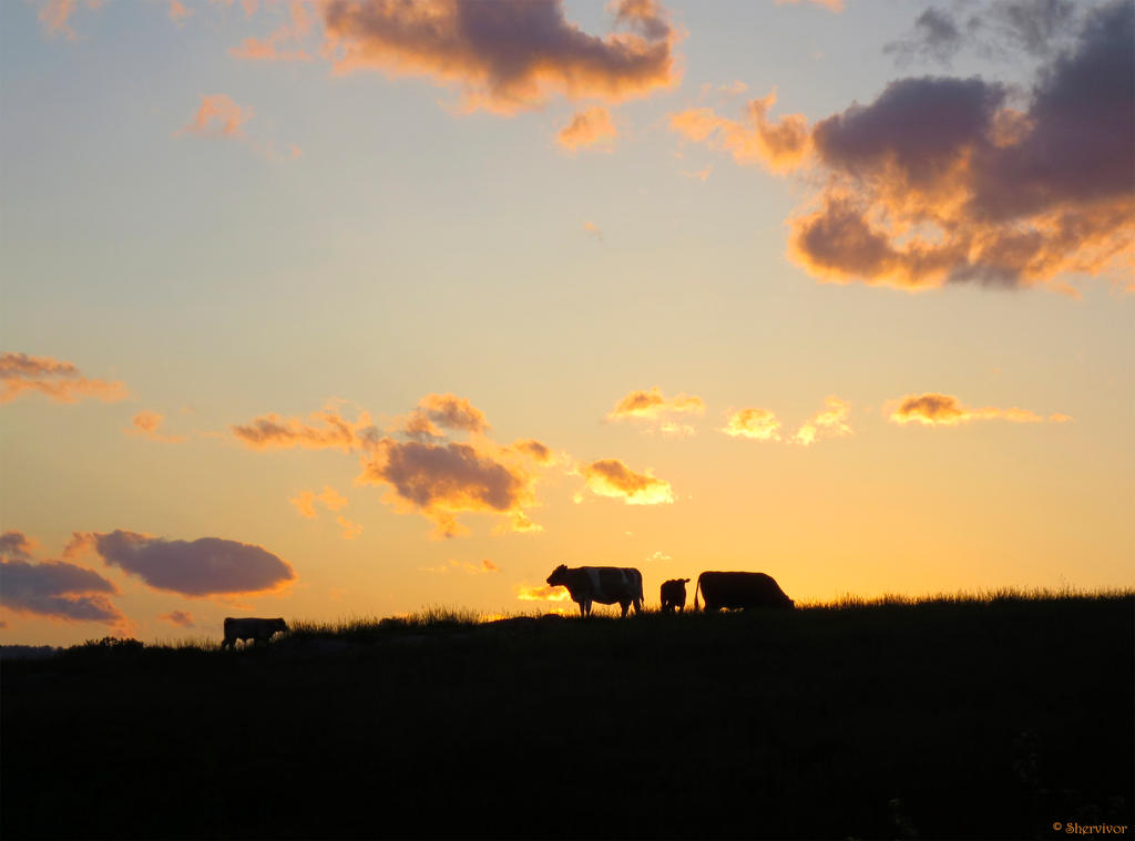 http://fc00.deviantart.net/fs70/i/2013/352/0/6/cows_at_sunset_by_shervivor-d6ye4e9.jpg
