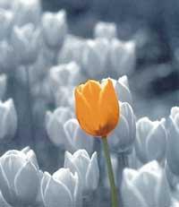 Tulipofyours