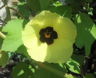 Hibiscus calyphyllus by AANGELOO