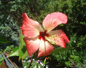 Hibiscus storckii