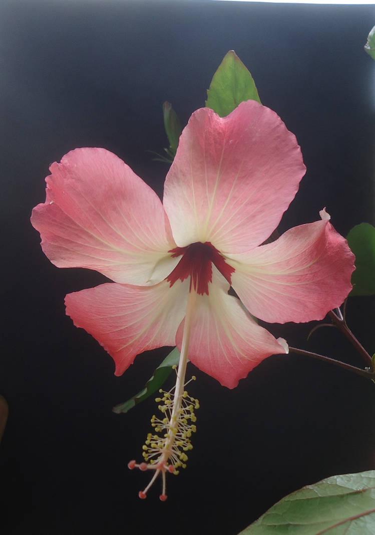 Hibiscus storckii by AANGELOO